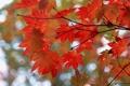 Картинка листья, осень, ветки, блики, клен, дерево, красный