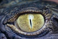 Картинка yellow, eye, crocodile, reptile
