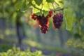 Картинка листья, свет, виноград, грозди