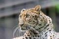 Картинка кошка, взгляд, морда, леопард, амурский