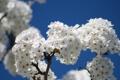 Картинка небо, цветы, природа, ветка, весна
