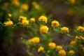 Картинка желтые, кустарник, цветы