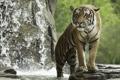Картинка тигр, хищник, купание, дикая кошка