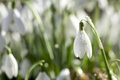 Картинка капли, весна, роса, лепестки, цветок, белый, подснежник