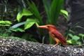 Картинка птичка, зимородок, Kingfisher
