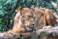 Картинка кошка, профиль, бревно, львица