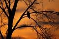 Картинка закат, дерево, птица, силуэт, филин