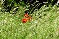 Картинка трава, фото, маки, природа, поле, цветы