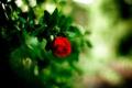 Картинка цветок, роза, красная, боке