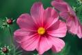 Картинка бутоны, зеленый фон, розовая, космея