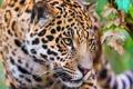 Картинка морда, хищник, ягуар, смотрит, крадётся, обои 4х3