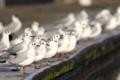 Картинка птицы, чайки, белые, много