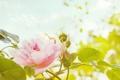 Картинка роза, цветок, лепестки