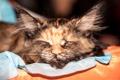 Картинка кошка, фон, сон, окрас, триколор, вислоухая, размытость.