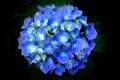 Картинка листья, лепестки, голубая, гортензия, чёрный фон