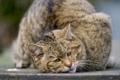 Картинка кошка, морда, лесной, дикий кот, ©Tambako The Jaguar