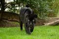 Картинка кошка, трава, взгляд, пантера, черный ягуар