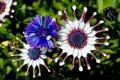 Картинка цветок, лепестки, цветение, Остеоспермум
