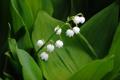 Картинка листья, природа, ландыш, соцветие