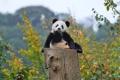 Картинка осень, лес, панда, медвежонок