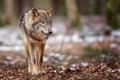 Картинка животные, животное, волк, хищник