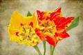 Картинка цветы, тюльпан, лепестки, холст
