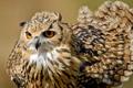 Картинка сова, птица, оперение, Bengal Eagle Owl