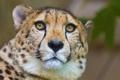 Картинка морда, хищник, гепард