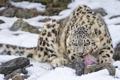 Картинка кошка, снег, камни, котенок, хищник, мясо, ирбис