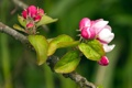 Картинка макро, природа, яблони