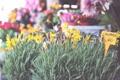 Картинка цветы, надпись, лаванда, ценник