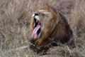 Картинка кошка, трава, лев, пасть, зевает
