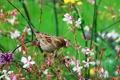 Картинка птица, луг, воробей, цветы