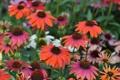 Картинка растение, лепестки, сад, клумба, эхинацея