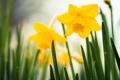 Картинка цветы, весна, желтые, нарцисы