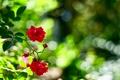 Картинка блики, розы, ветка, красные