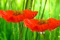 Картинка поле, капли, цветы, природа, маки, весна, лепестки