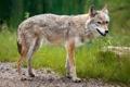 Картинка лето, природа, Wild Coyote