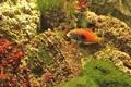 Картинка рыбка, губан, морское дно