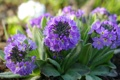 Картинка весна, сиреневый, примула