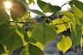 Картинка листья, деревья, солнце, ветви, лето, свет, лучи