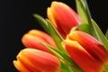 Картинка бутоны, тюльпаны, лепестки, цветы