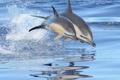 Картинка море, брызги, прыжок, пара, дельфины