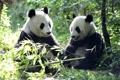 Картинка листья, медведи, панда