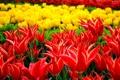 Картинка тюльпаны, парк, клумба, цветы