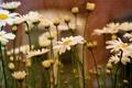 Картинка цветы, природа, фон, ромашки