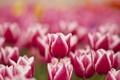 Картинка цветы, весна, тюльпаны, розовые, белые