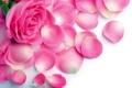 Картинка капли, роза, лепестки, влага