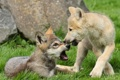 Картинка щенки, волки, волчата