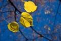 Картинка осень, небо, макро, листва, ветка